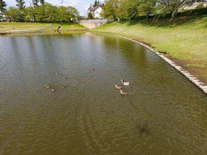 池では静かに泳ぐカモの親子。平和でのどかな風景に心癒されます。