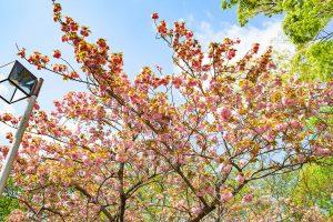 満開の八重桜を楽しめます。