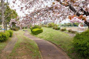 ころころとした八重桜がとてもかわいらしいです。