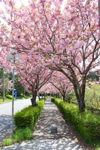 あたり一面ピンクに染まり見事な八重桜のトンネルです。