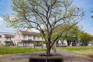 公園に栗の木があるって珍しいですね。
