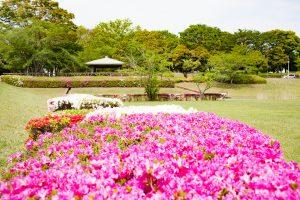 緑の中の彩り鮮やかなツツジの花に心癒されます。