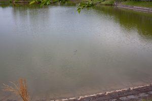 亀の親子も泳いでます。
