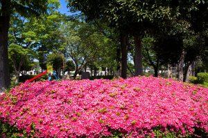 公園の入口に鮮やかなツツジが咲いていました。